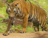 0111-Tiger