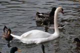Swan with company