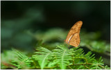 Julia Butterfly Wallpaper