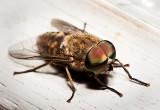 Horse fly - Tabanidae