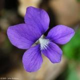 Violet 2009