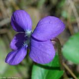 Violet 2006