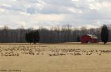 Geese Field