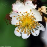 Common Crabapple