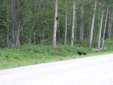 Black Bear Sow and Her Cubs Along the Alaska Highway