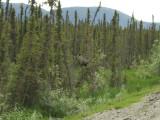 Moose With Calf Along the Dalton Highway
