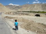 Ooh!  A zho!  (A yak hybrid.)