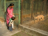 One of the 6240 species of deer at the Delhi National Zoo.