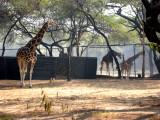 Newborn giraffe and family.
