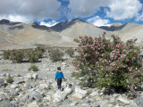 Wild rose bushes at Pangong Tso.