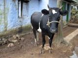 Naughty vegetable and herb garden-raiding cow