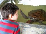 Sea turtle (three years old)