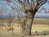 Springbok and guinea fowl