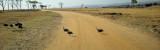 Guinea fowl crossing