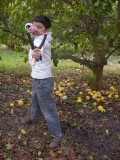 In the lemon orchard at Moreson's Farm in Franschhoek