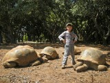 Giant tortoises at Casela's game park