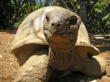 Yet another giant tortoise
