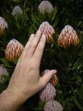 Fymbos flowers, Bali (2008)