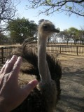 Ostrich, South Africa (2012)
