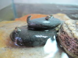 Some of the truly miniscule frogs Rahil raised from tadpoles