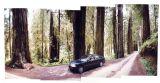 Redwoods (1999)
