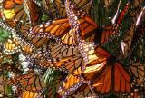 Monarch-y!