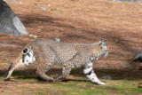 Bobcat in Yosemite