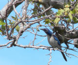 Scrub Jay looking for something