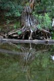 Old tree and reflection