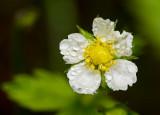 Wet and Wild Strawberry flower