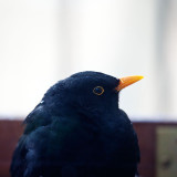 Blackbird in profile
