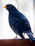 Blackbird after feeding on my balcony