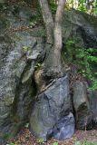Tree on stone