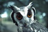 whoose owl.jpg