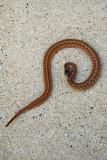 Midland Brown Snake