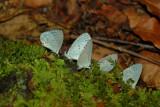 Summer Azure Butterflies, Great Smoky Mountains National Park
