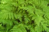 Ferns, Mount Mitchell State Park, NC