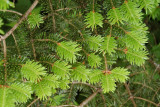 New Growth on Balsam Fir, Mount Mitchell State Park, NC