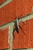 Leaf Footed Bug - (Acanthocephala sp.)