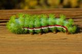 Peacock Moth Caterpillar