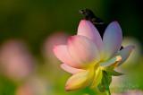 Lotus Lover_NBP6694.jpg