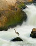 Water Fall Heron DSC_5105.jpg