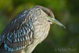 Juvenile Night Heron_NIK5172.jpg