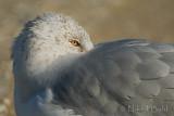 Gull_NIK1606.jpg