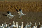 Snow Geese Landing_NIK4228.jpg