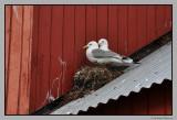 Gull`s nest