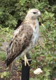 Brooklyn Botanical Garden Hawk