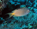 Zebra Butterflyfish.jpg