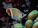 Crowned Butterflyfish.jpg