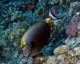 Masked Unicornfish.jpg